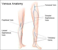 Leg Vein Anatomy