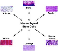 Mesenchymal stem cells areas