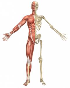 musculoskeletal diagram